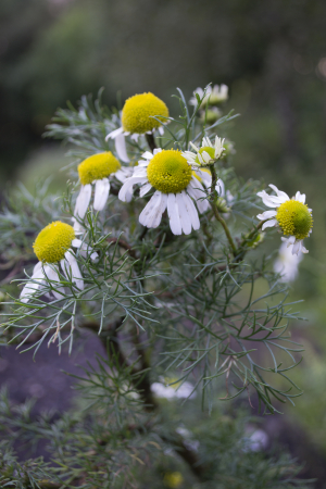 Scentless mayweed 1