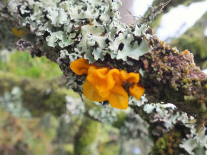 Three types of lichens?