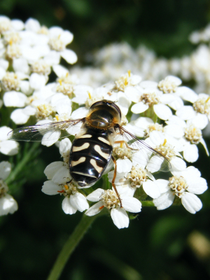 Black and white Hover fly/wasp?