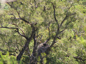 African Crowned Eagle sightings in the southern Cape