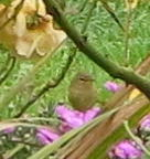 Bird seen today and recently on rose bush