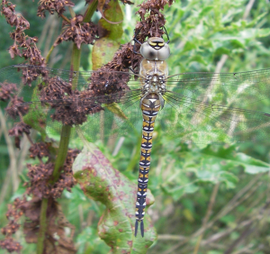 Dragonfly - Migrant Hawker?