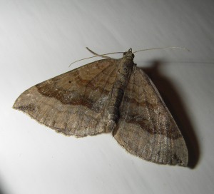 Moth - Shaded Broad Bar?