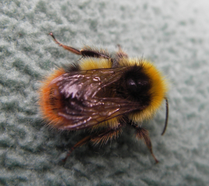 Early Bumble Bee?