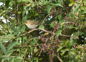 possible willow warbler
