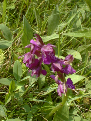 Green-winged orchid?