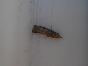 Unidentified moth - Snout?
