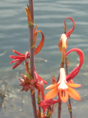 Orange waterside plant