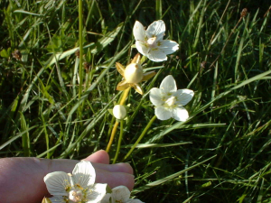 Grass of Parnassus?