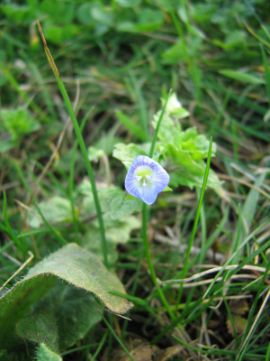 Common Field-Speedwell?