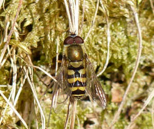 Hover-fly