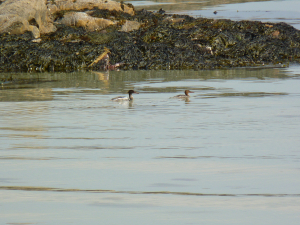 pair of mergansers