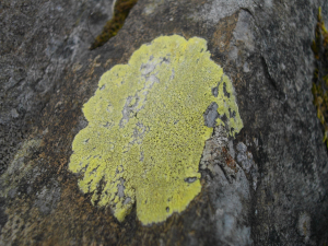 Lime green lichen
