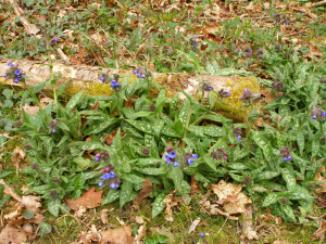 Narrow leaved Lungwort