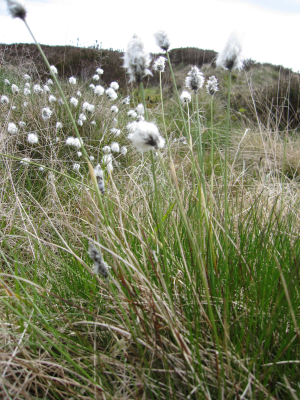Hare's foot cottongrass