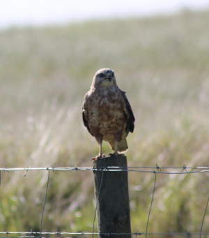 Buzzards found from Mossel Bay to George