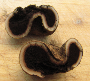 Elaphomyces granulatus