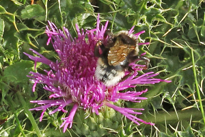 Bee on dwarf thistle