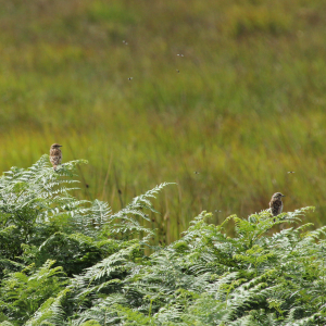 Female Whinchat ???