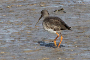 Redshank with lugworm ?