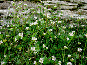 Scurvygrass