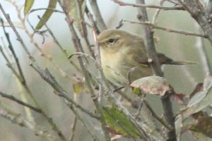 Chiffchaff or Willow Warbler ?