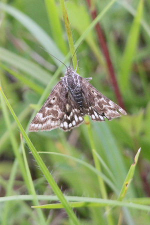 Day flying moth - Mother Shipton ?