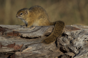 Botswana Ground Squirrel