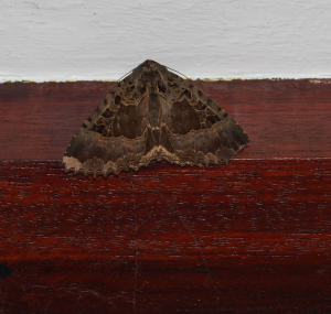 large brown and grey moth1