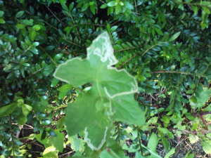 leaf miner on sowthistle