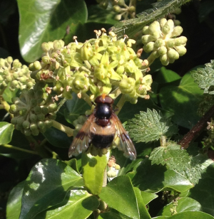 Hoverfly1a