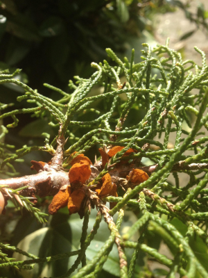 Gymnosporangium sabinae on juniper 12 May 2013 10-30