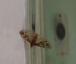 Micro moth 6 May 2013 17-45 cropped