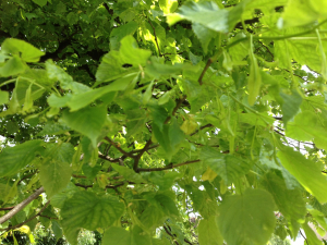 lime tree 26 May 2013 12-13