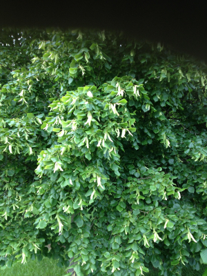 lime tree 17 Jun 2013 20-27