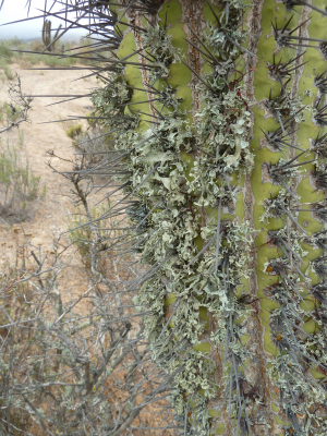 lichens on cactus