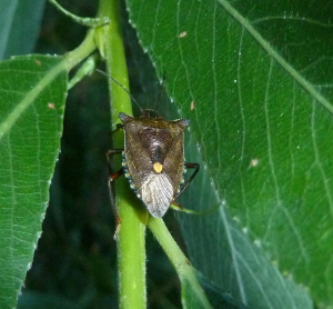 shieldbug on white willow-001