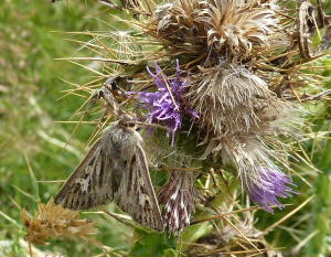 Day-flying Moth on Cirsium arvense