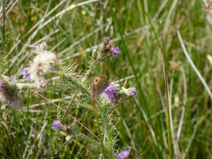 Meadow brown on cirsium