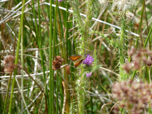 Small skipper on Cirsium arvense