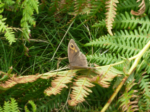 Meadow brown on bracken at Stapeley Hill
