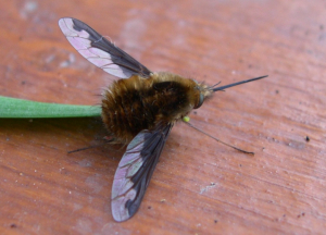 Jonathan - Dark-edged Bee-fly - 24th April 2006