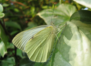 Jonathan - Large white butterfly - 18 July 2008 - 2:55pm