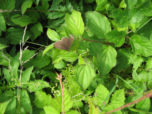 Jonathan - Ringlet butterfly - 13th July 2008