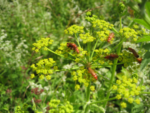Jonathan - Beetles on wild parsnip - 13th July 2008