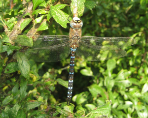 Jonathan - migrant hawker dragonfly - 28th September 2008