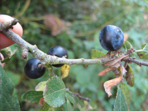 Jonathan - Sloe or Blackthorn - 19th October 2008