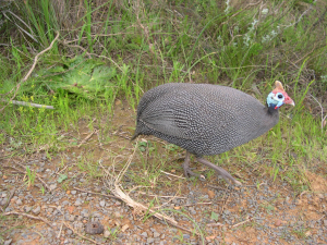 Jonathan - Guinea fowl - 1st October 2006