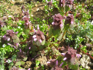 Red deadnettle