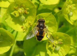 Another hover fly